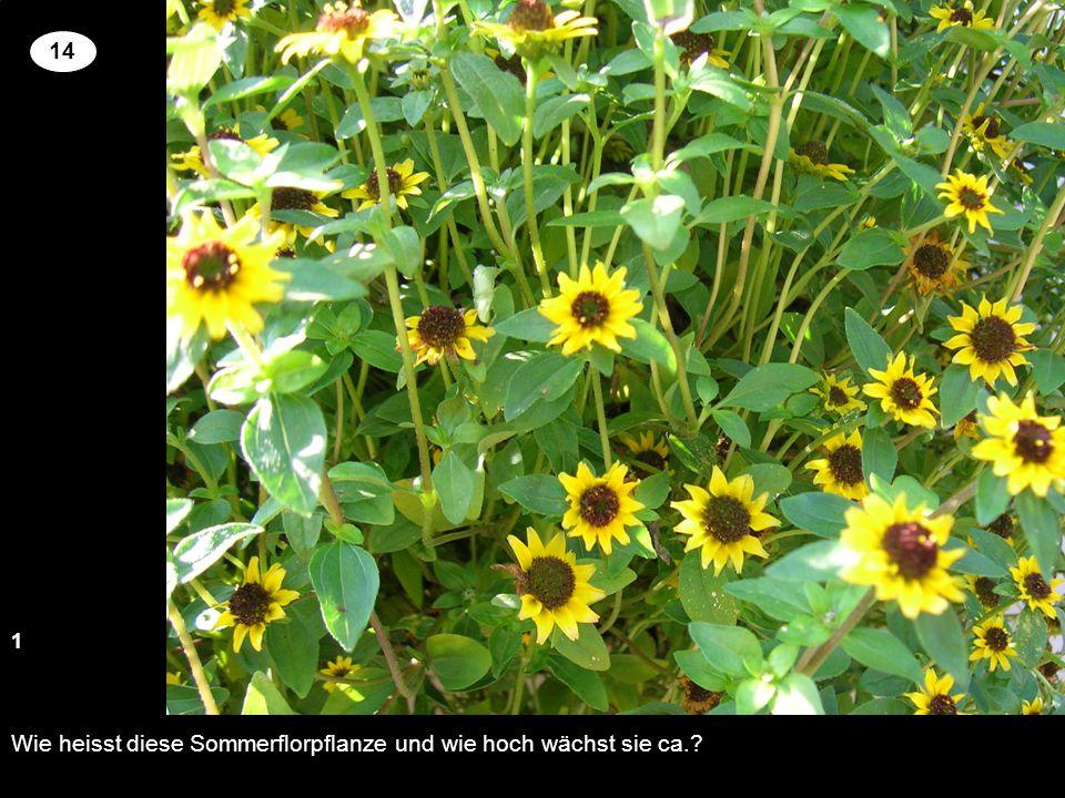 Wie heisst diese Sommerflorpflanze und wie hoch wächst sie ca.