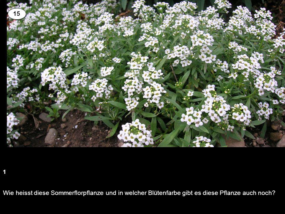 15 1 Wie heisst diese Sommerflorpflanze und in welcher Blütenfarbe gibt es diese Pflanze auch noch