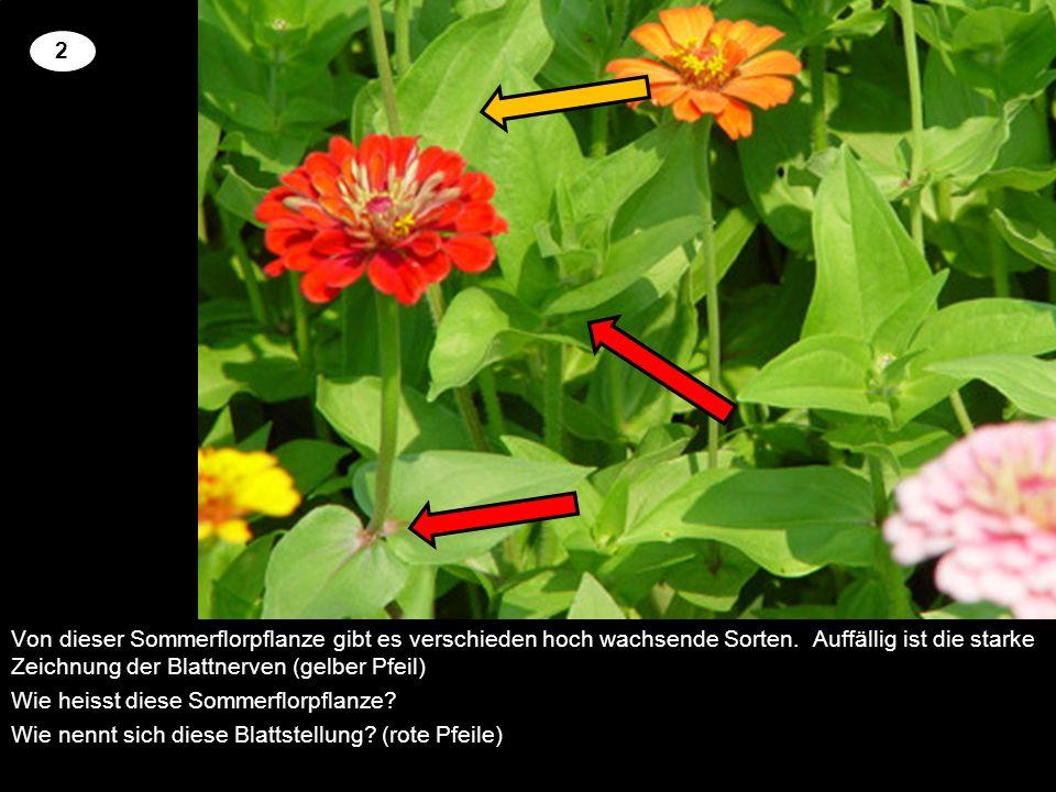 2 Von dieser Sommerflorpflanze gibt es verschieden hoch wachsende Sorten. Auffällig ist die starke Zeichnung der Blattnerven (gelber Pfeil)