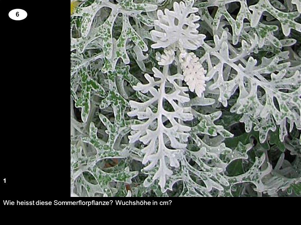 Wie heisst diese Sommerflorpflanze Wuchshöhe in cm