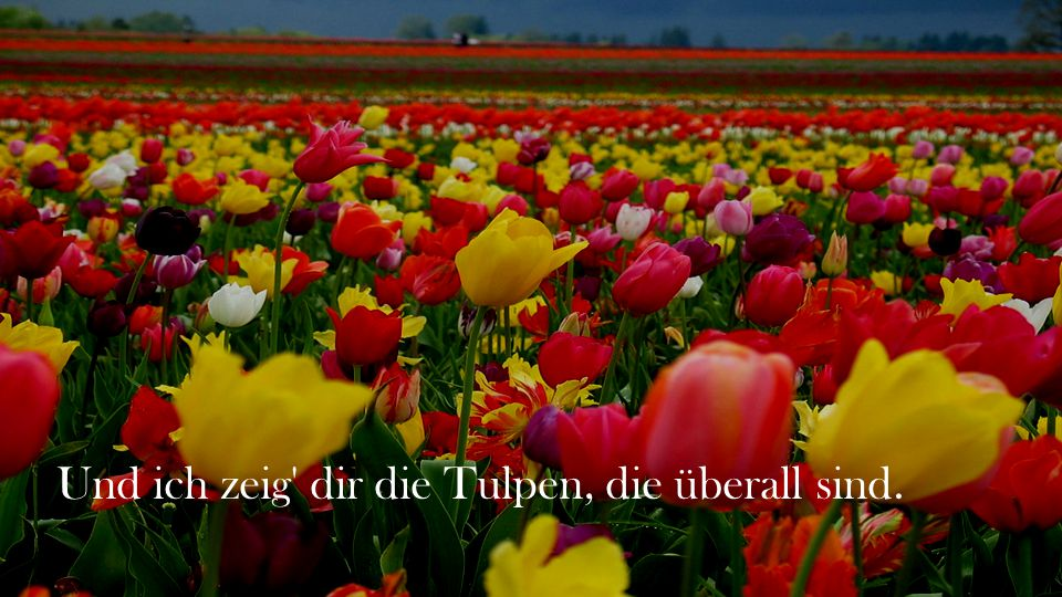 Und ich zeig dir die Tulpen, die überall sind.