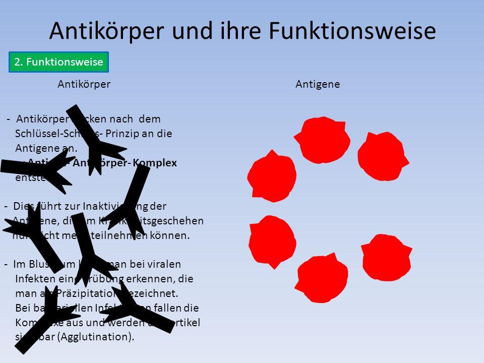 Antikörper und ihre Funktionsweise