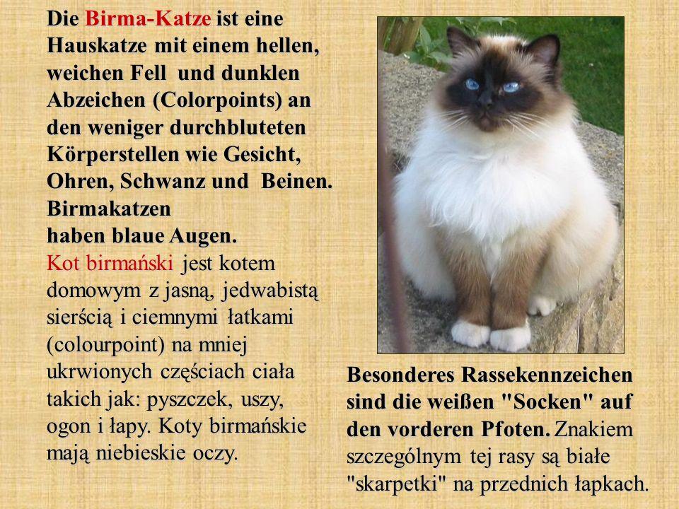 Die Birma-Katze ist eine Hauskatze mit einem hellen, weichen Fell und dunklen Abzeichen (Colorpoints) an den weniger durchbluteten Körperstellen wie Gesicht, Ohren, Schwanz und Beinen. Birmakatzen haben blaue Augen. Kot birmański jest kotem domowym z jasną, jedwabistą sierścią i ciemnymi łatkami (colourpoint) na mniej ukrwionych częściach ciała takich jak: pyszczek, uszy, ogon i łapy. Koty birmańskie mają niebieskie oczy.