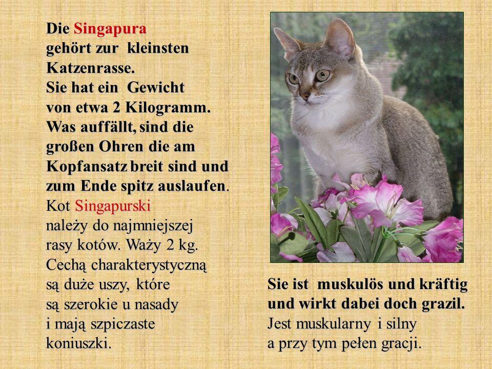 Die Singapura gehört zur kleinsten Katzenrasse