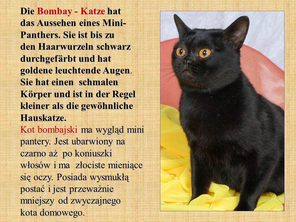 Die Bombay - Katze hat das Aussehen eines Mini- Panthers