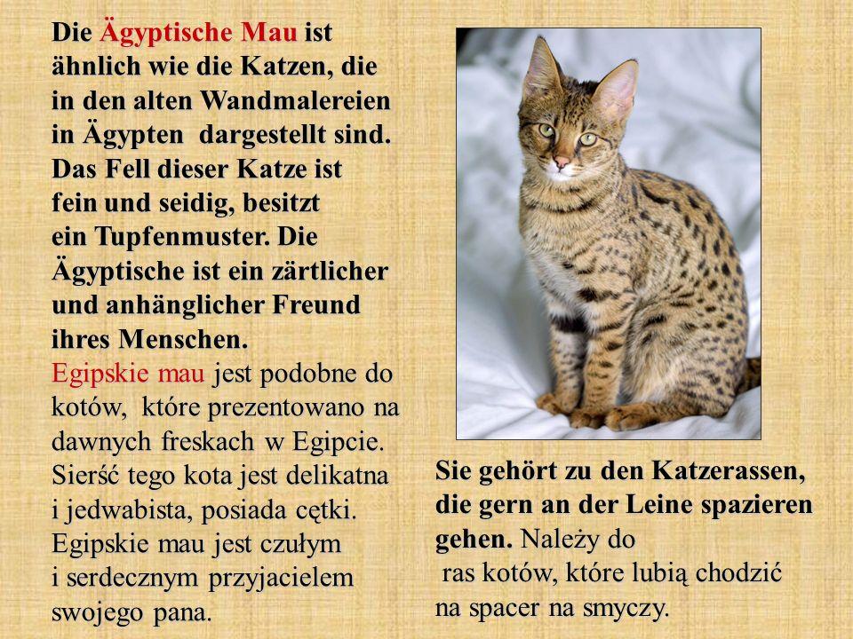 Die Ägyptische Mau ist ähnlich wie die Katzen, die in den alten Wandmalereien in Ägypten dargestellt sind. Das Fell dieser Katze ist fein und seidig, besitzt ein Tupfenmuster. Die Ägyptische ist ein zärtlicher und anhänglicher Freund ihres Menschen. Egipskie mau jest podobne do kotów, które prezentowano na dawnych freskach w Egipcie. Sierść tego kota jest delikatna i jedwabista, posiada cętki. Egipskie mau jest czułym i serdecznym przyjacielem swojego pana.