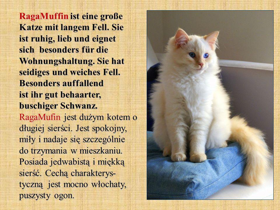 RagaMuffin ist eine große Katze mit langem Fell