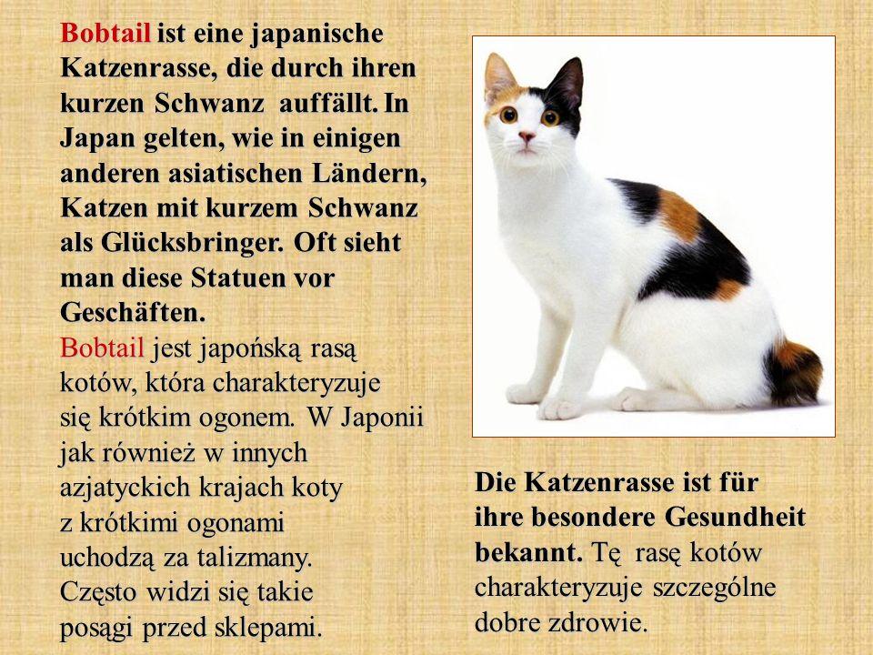 Bobtail ist eine japanische Katzenrasse, die durch ihren kurzen Schwanz auffällt. In Japan gelten, wie in einigen anderen asiatischen Ländern, Katzen mit kurzem Schwanz als Glücksbringer. Oft sieht man diese Statuen vor Geschäften. Bobtail jest japońską rasą kotów, która charakteryzuje się krótkim ogonem. W Japonii jak również w innych azjatyckich krajach koty z krótkimi ogonami uchodzą za talizmany. Często widzi się takie posągi przed sklepami.