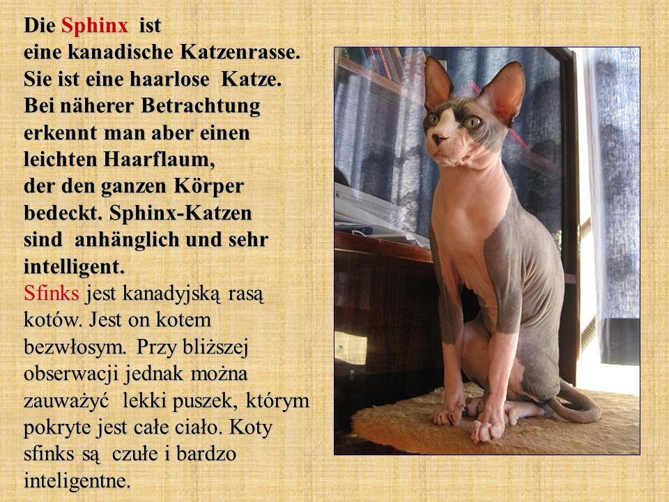Die Sphinx ist eine kanadische Katzenrasse. Sie ist eine haarlose Katze.