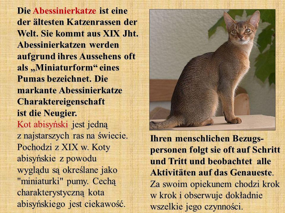 Die Abessinierkatze ist eine der ältesten Katzenrassen der Welt