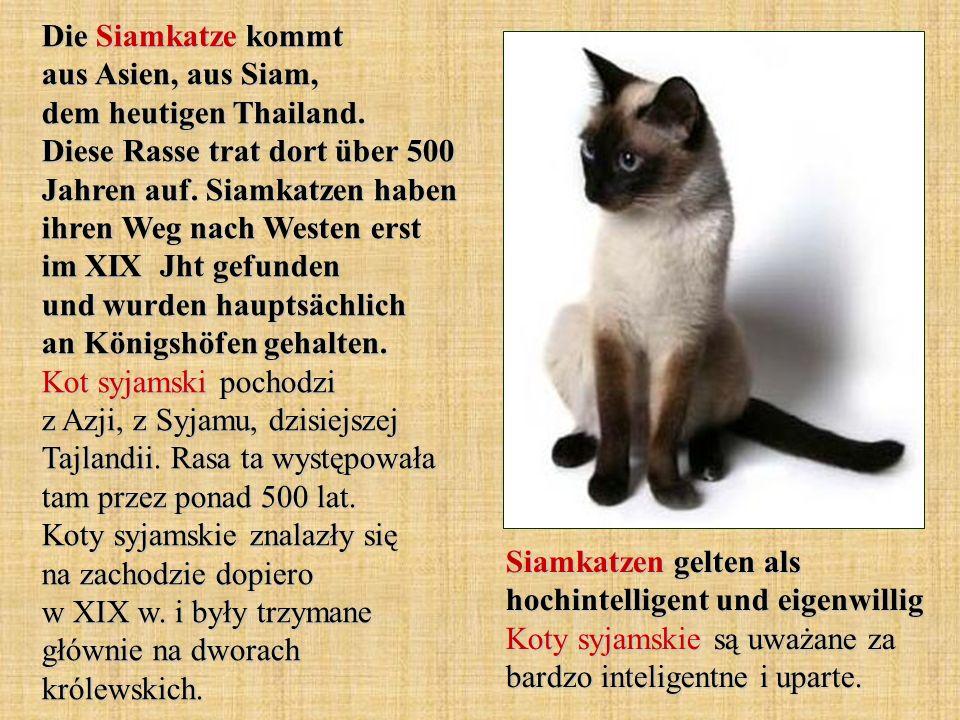 Die Siamkatze kommt aus Asien, aus Siam, dem heutigen Thailand