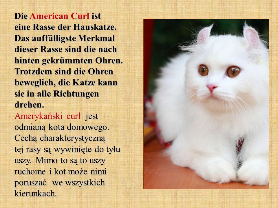 Die American Curl ist eine Rasse der Hauskatze