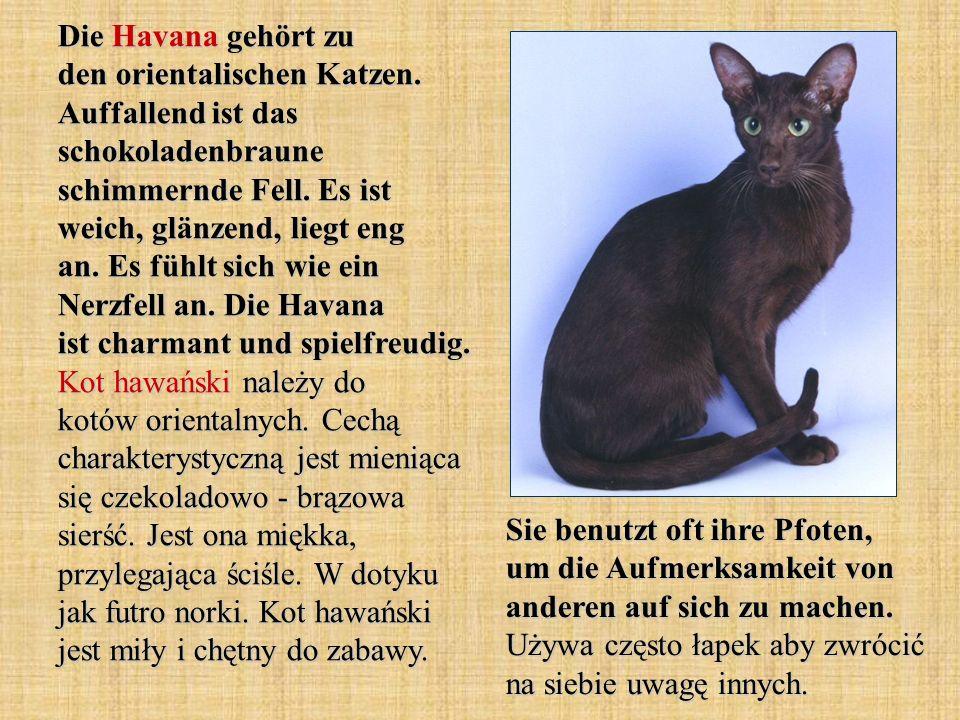 Die Havana gehört zu den orientalischen Katzen