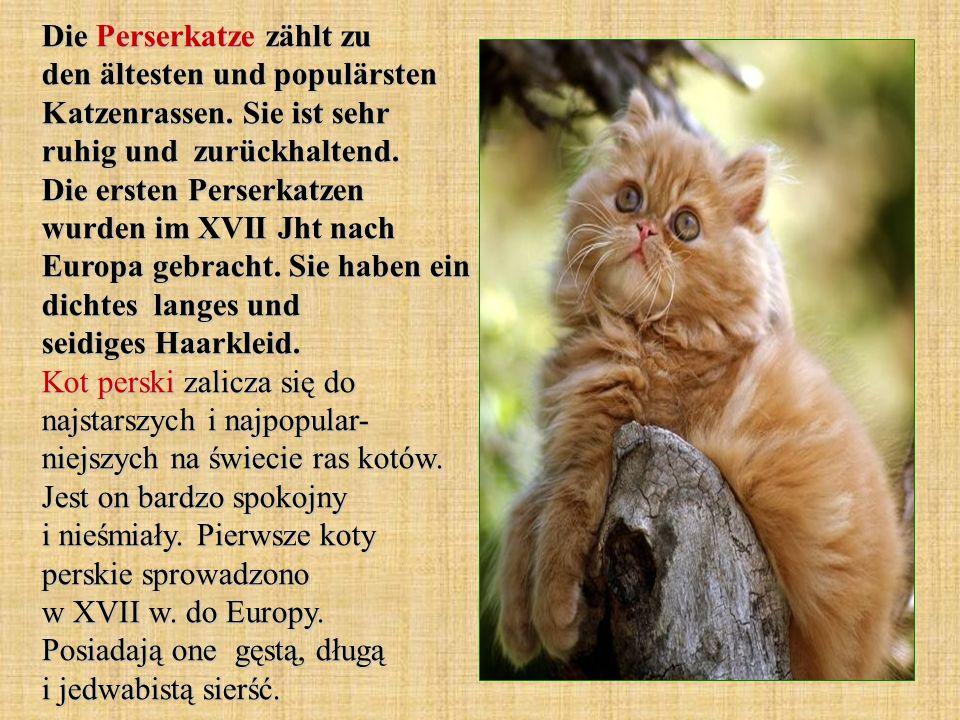 Die Perserkatze zählt zu den ältesten und populärsten Katzenrassen