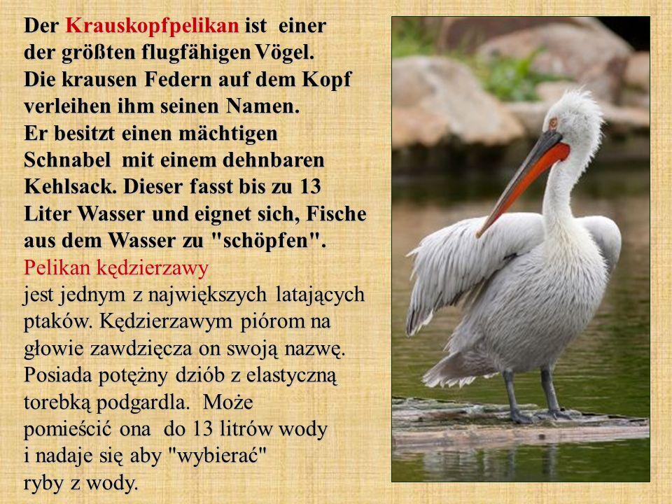 Der Krauskopfpelikan ist einer der größten flugfähigen Vögel