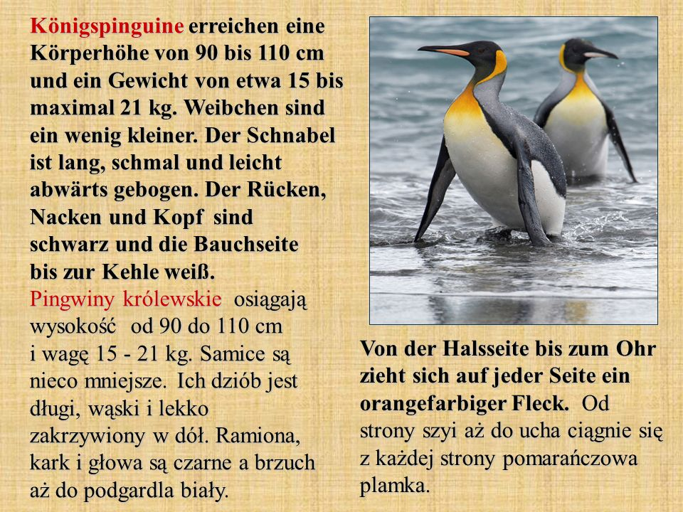 Königspinguine erreichen eine Körperhöhe von 90 bis 110 cm und ein Gewicht von etwa 15 bis maximal 21 kg. Weibchen sind ein wenig kleiner. Der Schnabel ist lang, schmal und leicht abwärts gebogen. Der Rücken, Nacken und Kopf sind schwarz und die Bauchseite bis zur Kehle weiß. Pingwiny królewskie osiągają wysokość od 90 do 110 cm i wagę 15 - 21 kg. Samice są nieco mniejsze. Ich dziób jest długi, wąski i lekko zakrzywiony w dół. Ramiona, kark i głowa są czarne a brzuch aż do podgardla biały.