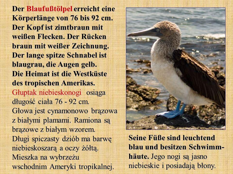 Der Blaufußtölpel erreicht eine Körperlänge von 76 bis 92 cm