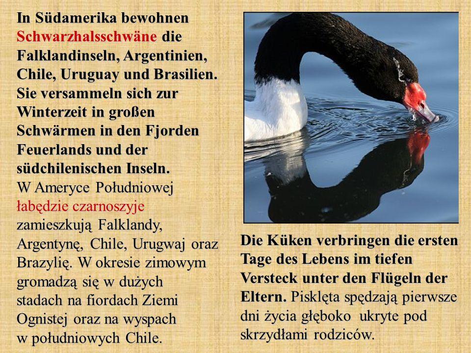 In Südamerika bewohnen Schwarzhalsschwäne die Falklandinseln, Argentinien, Chile, Uruguay und Brasilien. Sie versammeln sich zur Winterzeit in großen Schwärmen in den Fjorden Feuerlands und der südchilenischen Inseln. W Ameryce Południowej łabędzie czarnoszyje zamieszkują Falklandy, Argentynę, Chile, Urugwaj oraz Brazylię. W okresie zimowym gromadzą się w dużych stadach na fiordach Ziemi Ognistej oraz na wyspach w południowych Chile.