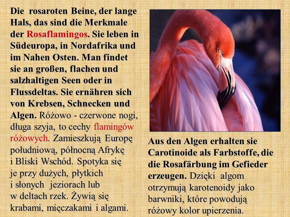 Die rosaroten Beine, der lange Hals, das sind die Merkmale der Rosaflamingos. Sie leben in Südeuropa, in Nordafrika und im Nahen Osten. Man findet sie an großen, flachen und salzhaltigen Seen oder in Flussdeltas. Sie ernähren sich von Krebsen, Schnecken und Algen. Różowo - czerwone nogi, długa szyja, to cechy flamingów różowych. Zamieszkują Europę południową, północną Afrykę i Bliski Wschód. Spotyka się je przy dużych, płytkich i słonych jeziorach lub w deltach rzek. Żywią się krabami, mięczakami i algami.