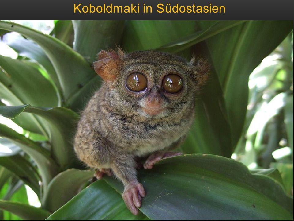 Koboldmaki in Südostasien