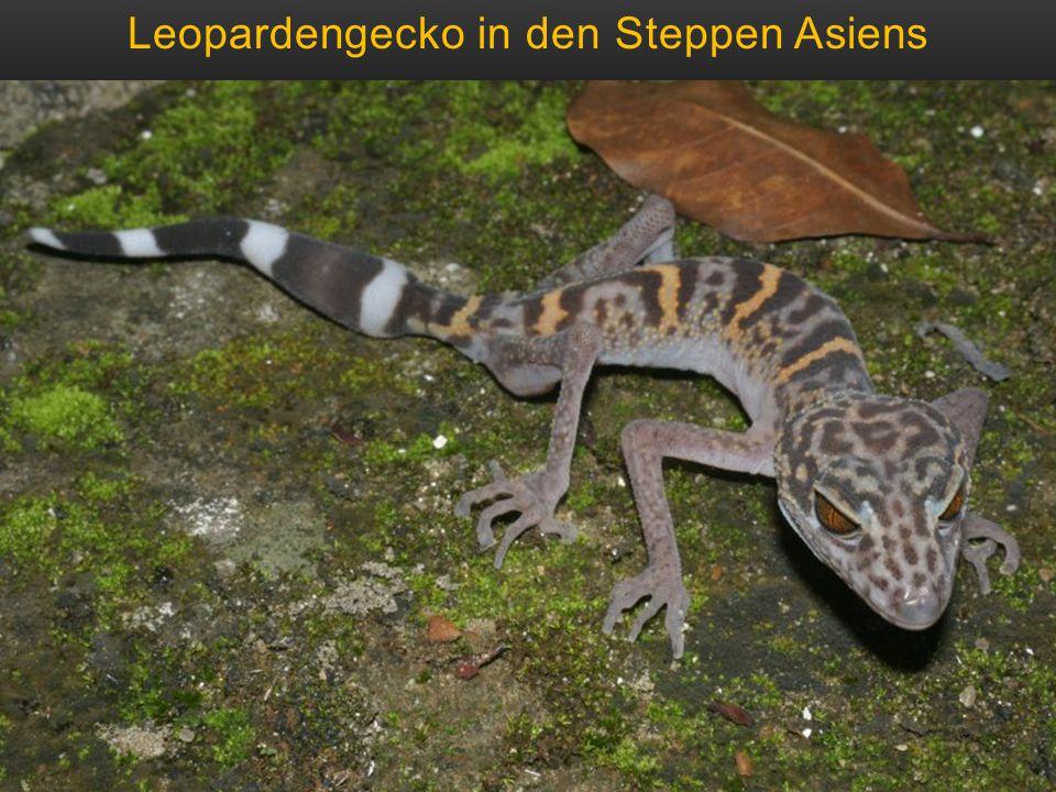 Leopardengecko in den Steppen Asiens