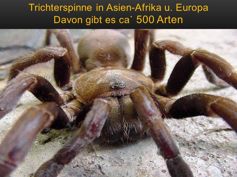 Trichterspinne in Asien-Afrika u. Europa Davon gibt es ca` 500 Arten