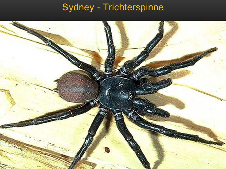 Sydney - Trichterspinne