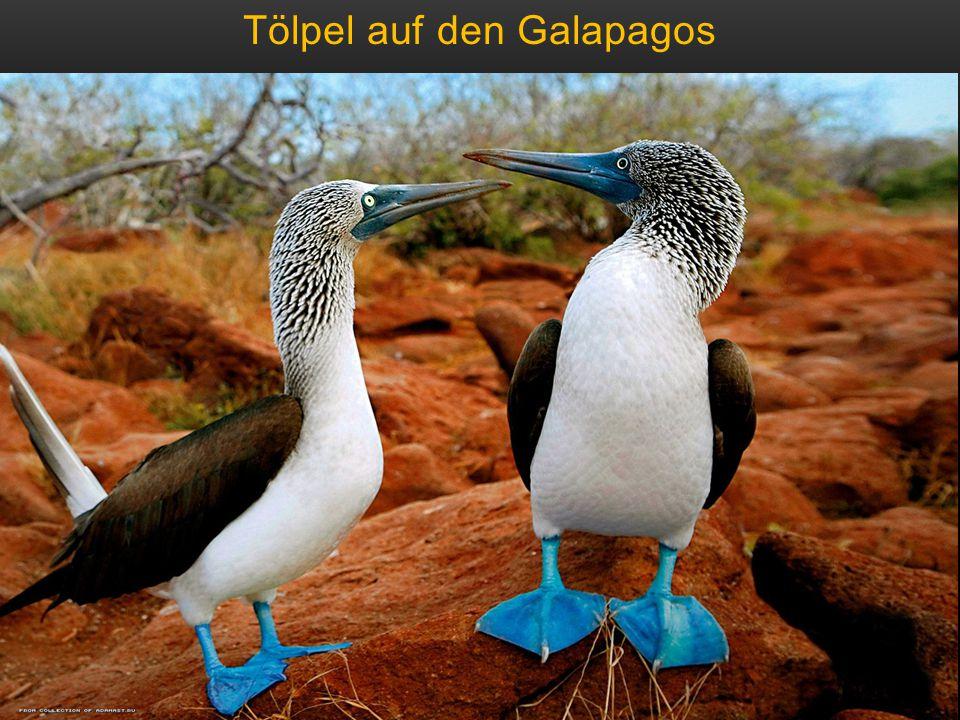 Tölpel auf den Galapagos