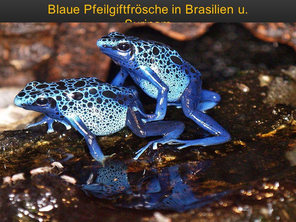 Blaue Pfeilgiftfrösche in Brasilien u. Surinam