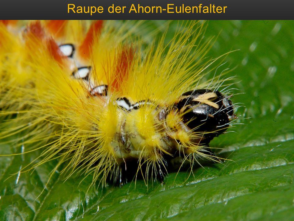 Raupe der Ahorn-Eulenfalter
