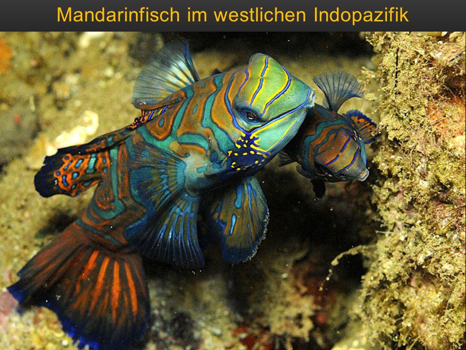 Mandarinfisch im westlichen Indopazifik