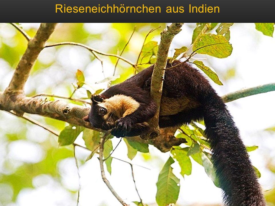 Rieseneichhörnchen aus Indien