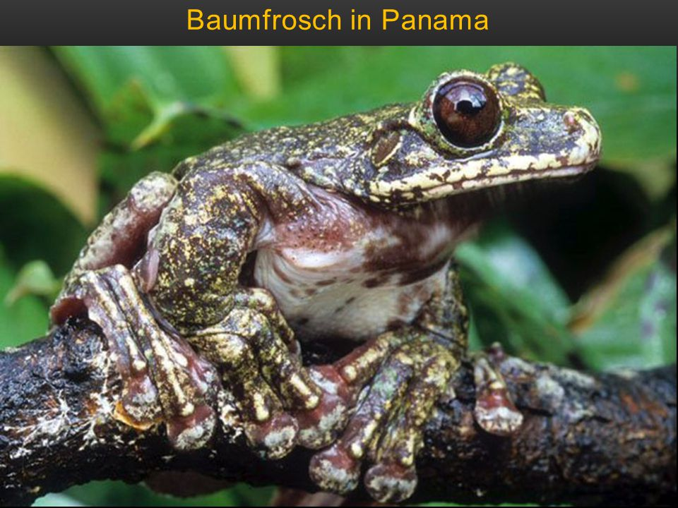 Baumfrosch in Panama