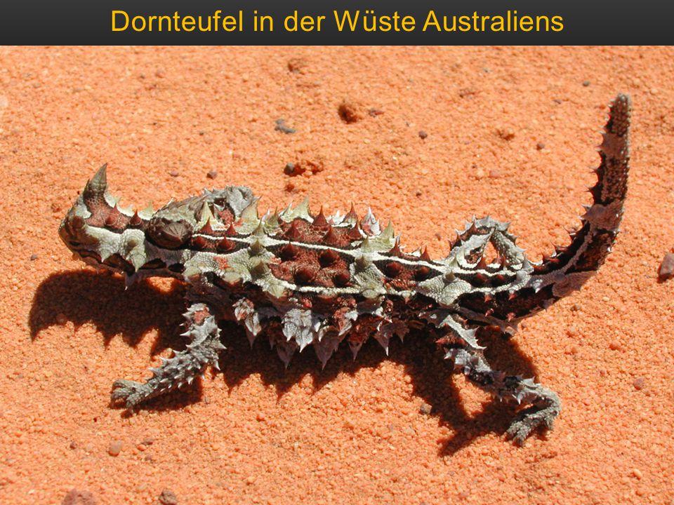 Dornteufel in der Wüste Australiens