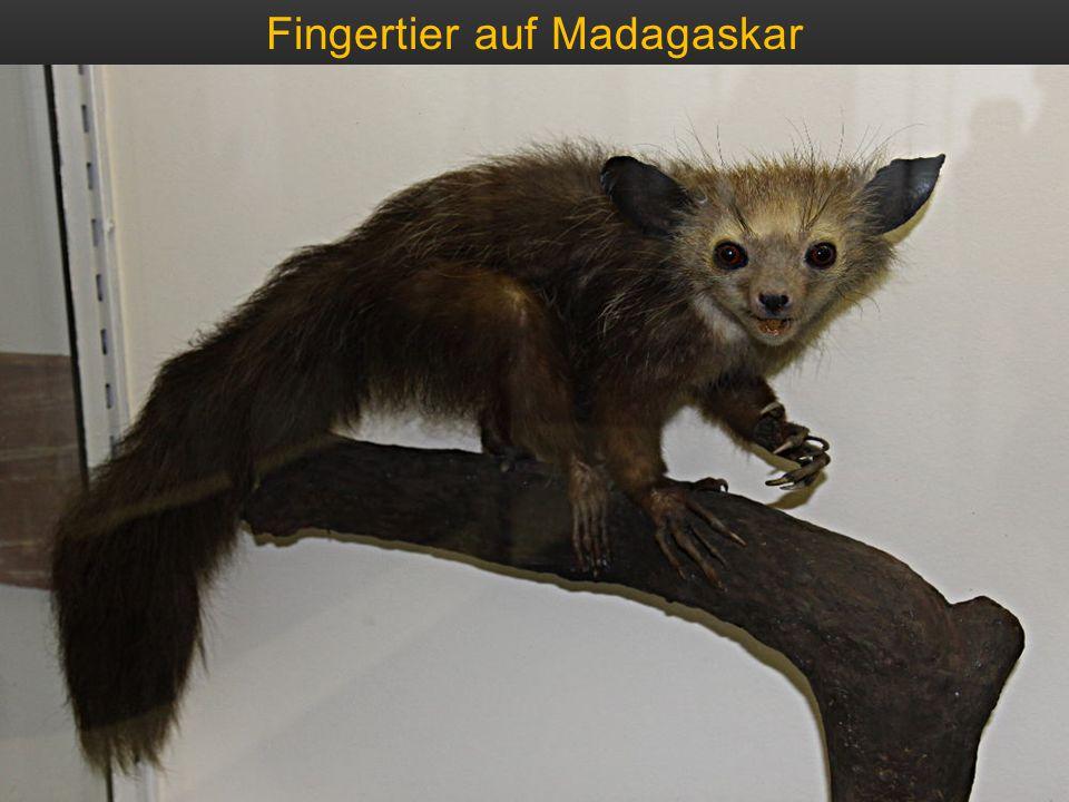 Fingertier auf Madagaskar