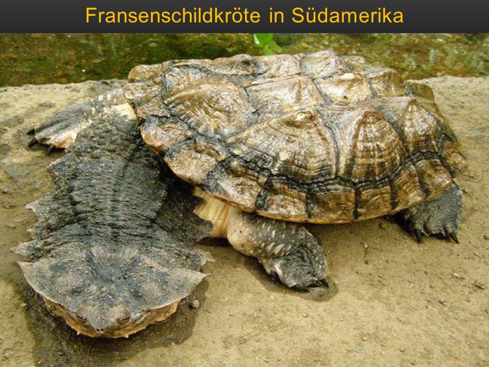 Fransenschildkröte in Südamerika