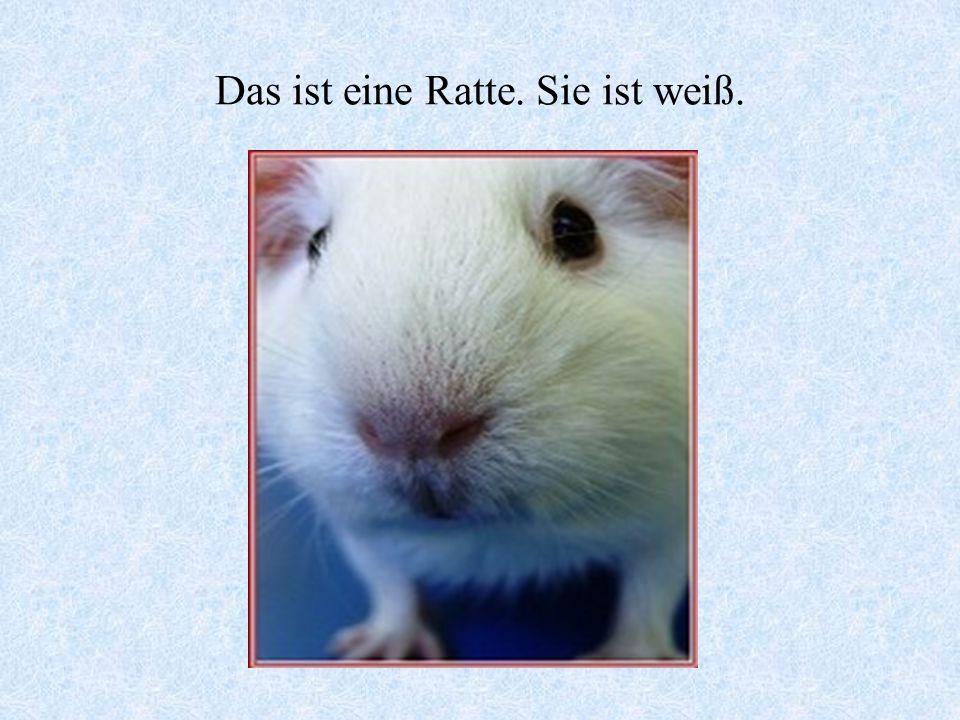 Das ist eine Ratte. Sie ist weiß.