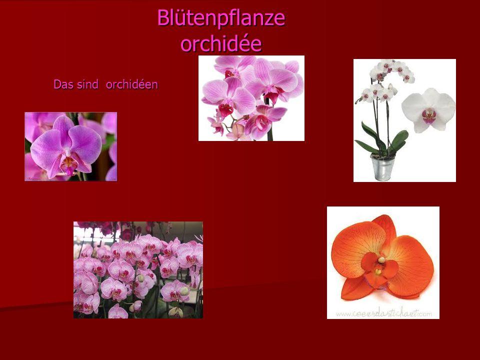 Blütenpflanze orchidée
