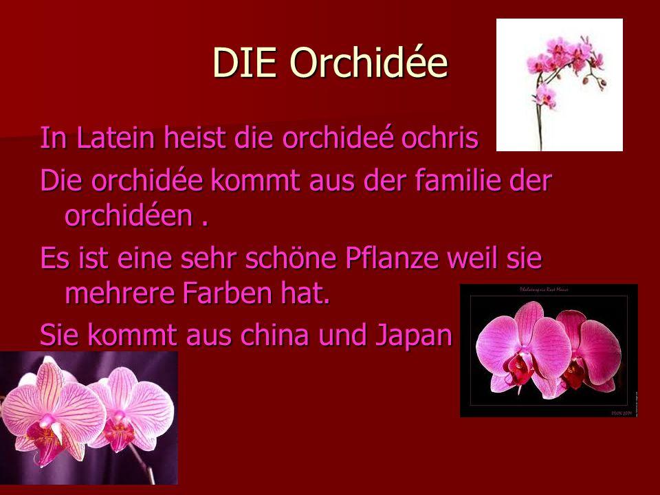 DIE Orchidée In Latein heist die orchideé ochris