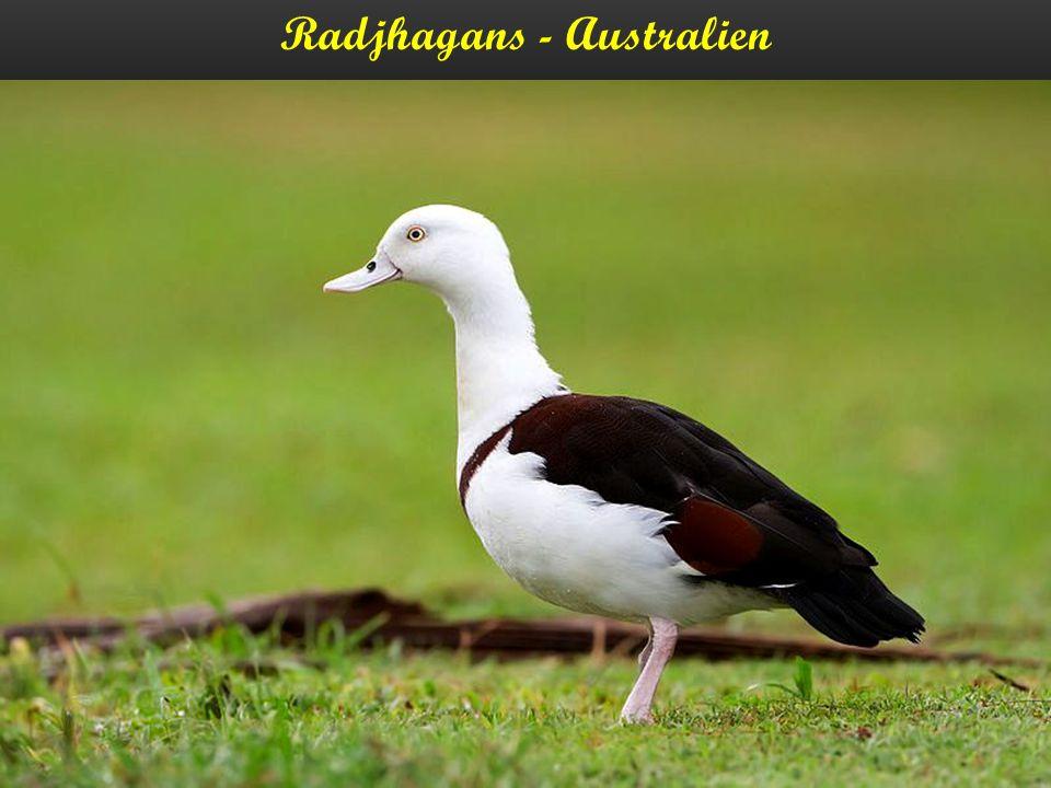 Radjhagans - Australien