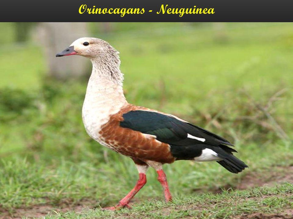 Orinocagans - Neuguinea