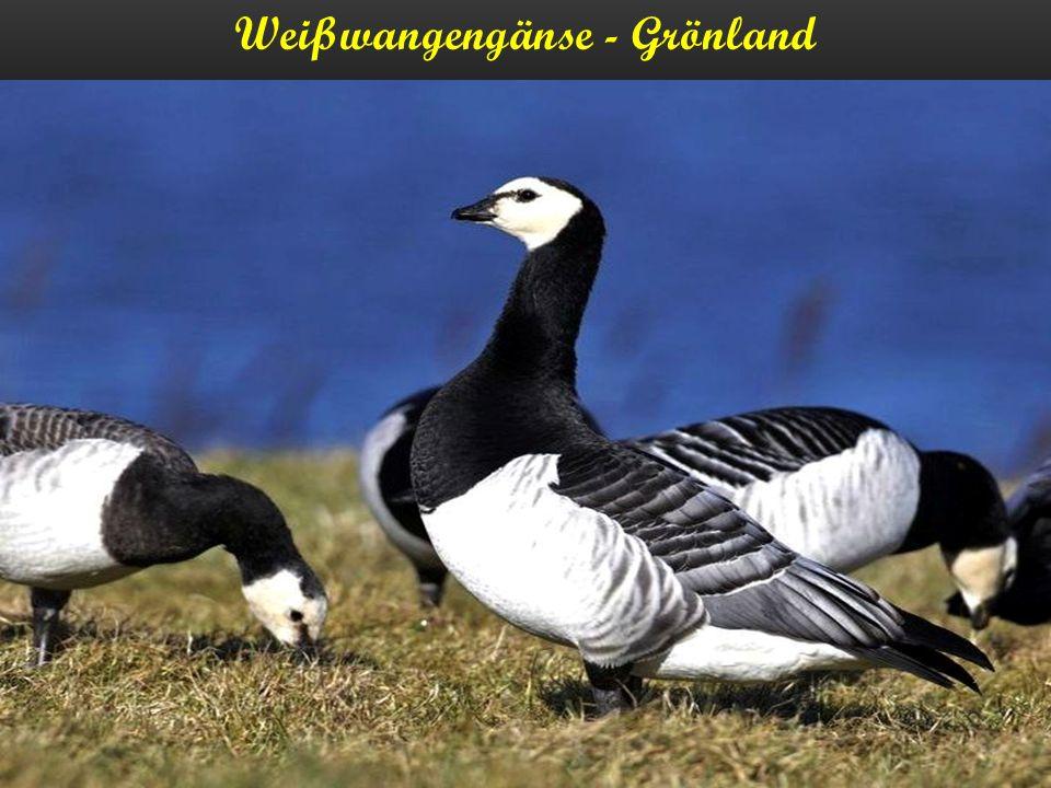 Weißwangengänse - Grönland