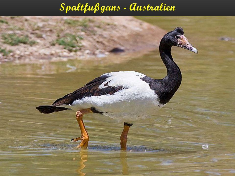 Spaltfußgans - Australien
