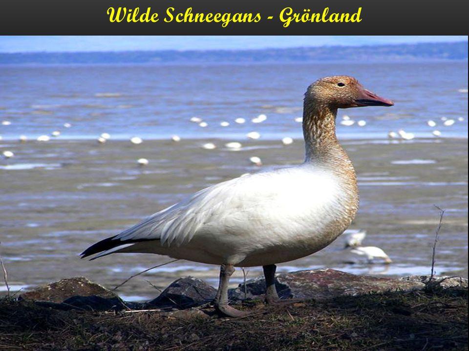 Wilde Schneegans - Grönland