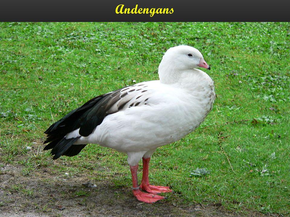 Andengans