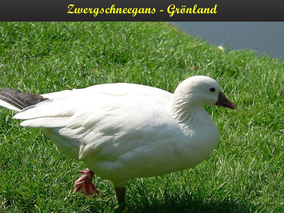 Zwergschneegans - Grönland