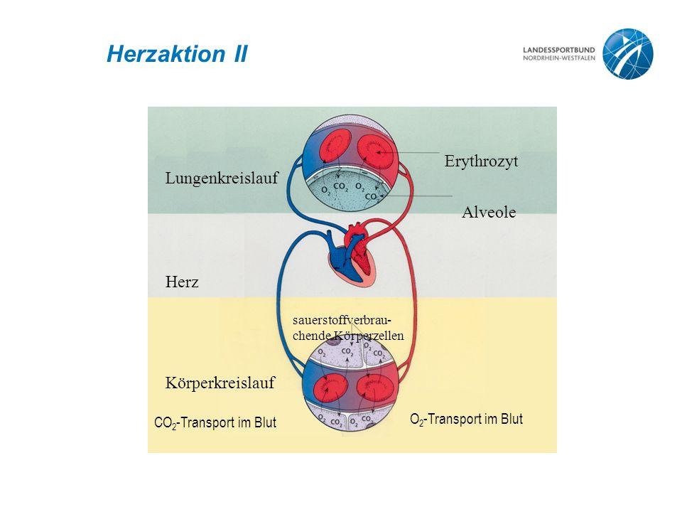 Herzaktion II Erythrozyt Lungenkreislauf Alveole Herz Körperkreislauf