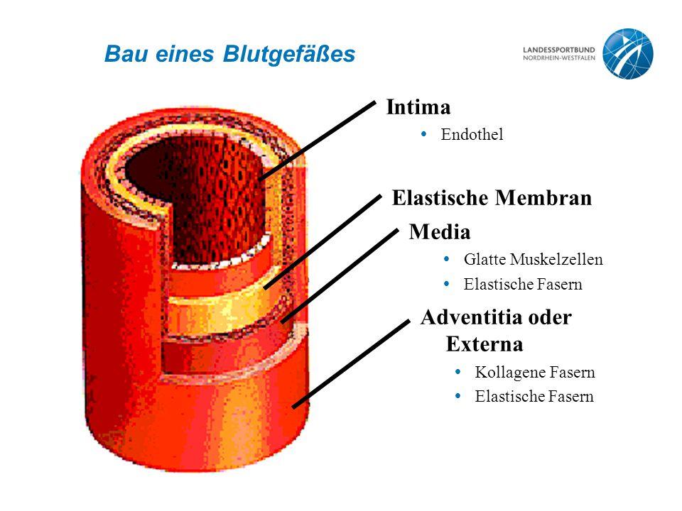 Bau eines Blutgefäßes Intima Elastische Membran Media