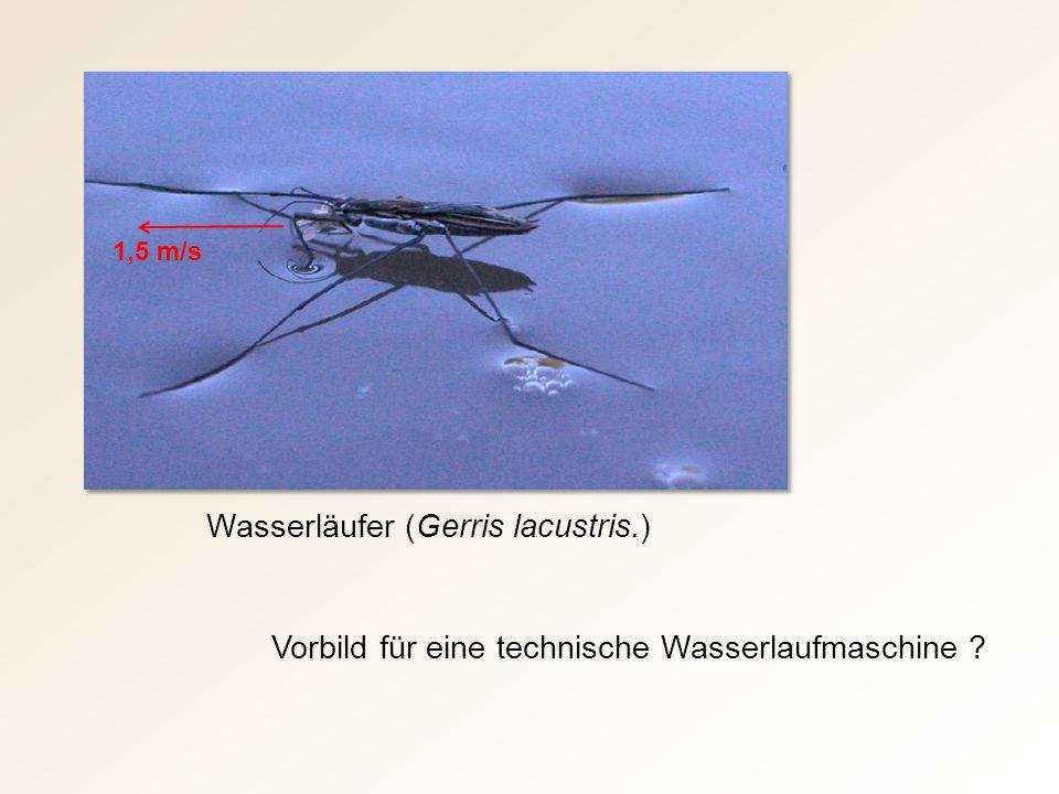 Wasserläufer (Gerris lacustris.)