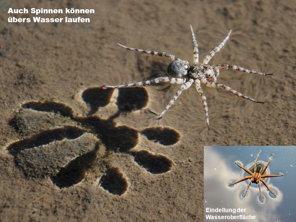 Auch Spinnen können übers Wasser laufen